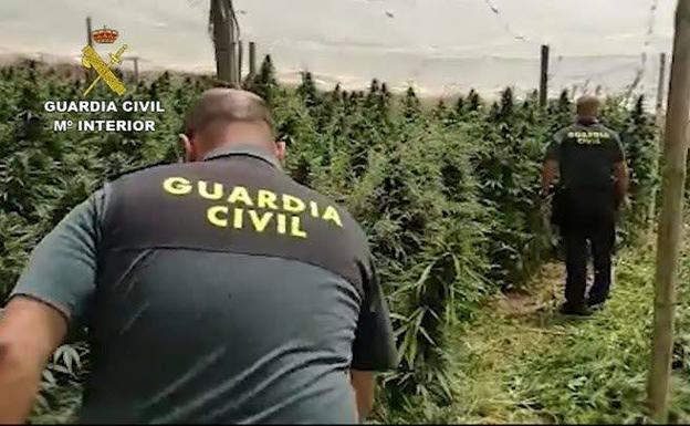 Dos Detenidos Por Cultivar Marihuana En Tres Huertos Camuflados En